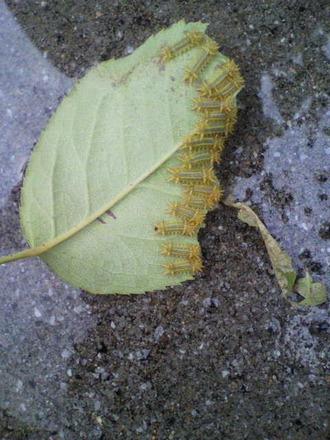 P1005288イラガ幼虫(4日