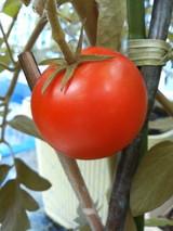 フルーツトマトを