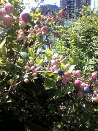 P1005037ブルーベリーの風景2