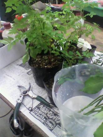 P1008404花束から芽接ぎ1