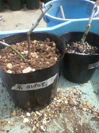 P1007813芽接ぎ苗鉢増し3