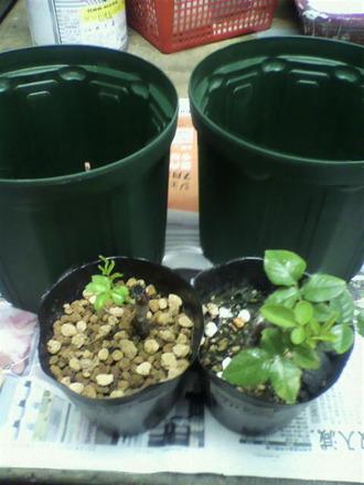 P1004993芽接ぎ苗の鉢増し