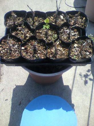 P1007792芽接ぎ苗の手入れ