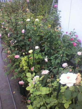 P1008787切花種養成苗もトホホ