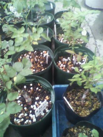 P1009230芽接ぎ苗鉢増し2