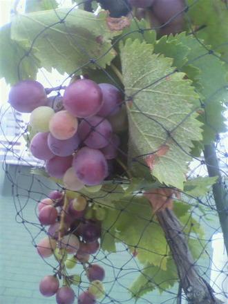 P1008769ブドウが色づいて