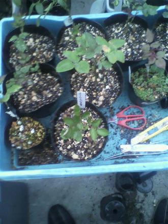P1006769挿し木苗の鉢増し2