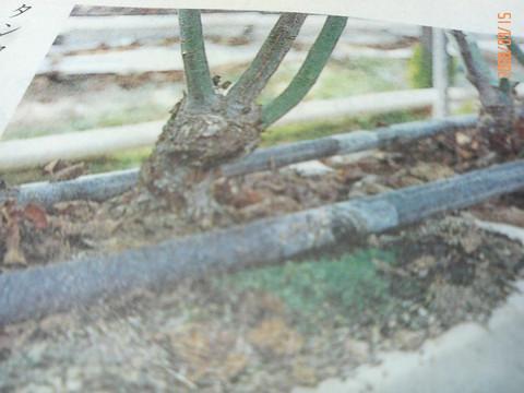 01979_トロ箱栽培2008  9 15  0 49