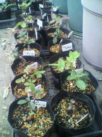 P1009173芽接ぎ苗たち1