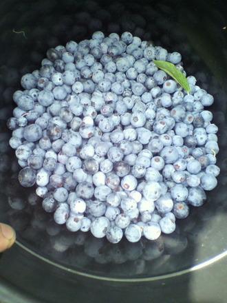 P1003242ブルーベリー収穫