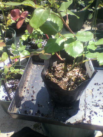 P1009322挿し木苗鉢増し1