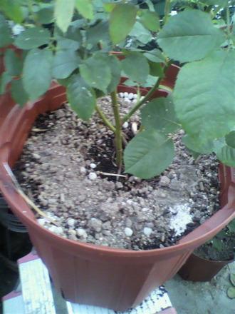P1002462小鉢苗に追肥作業