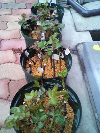 カサブランカ (植物)の画像 p1_22