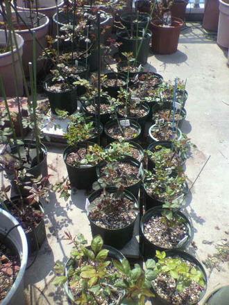 P1007816切花種養成苗の芽掻き