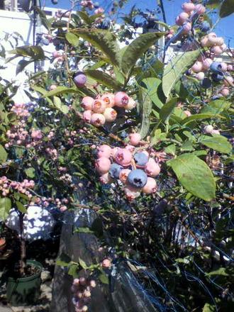 P1005038ブルーベリーの風景1