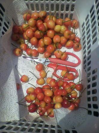 P1008478サクランボの収穫