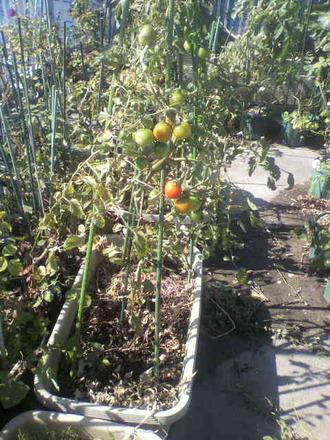 P1009270トマト収穫10月25日
