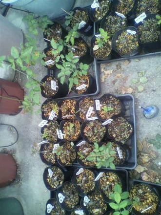 P1009171芽接ぎ苗たち3