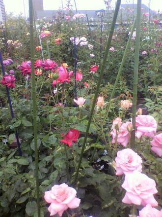 P1006967咲き散るバラ
