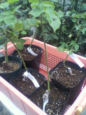 P1006794新苗の鉢増し