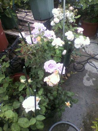 P1006742切花種コーナー2