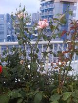シュート開花ブルームーン