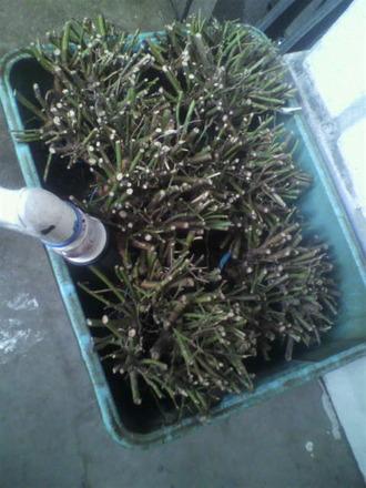 P1009289バラ台木を水に浸ける