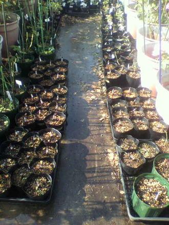 P1009181芽接ぎ苗の風景