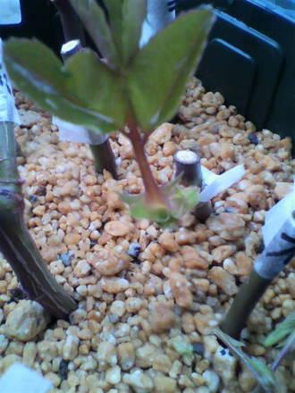 挿し木のピンチ2