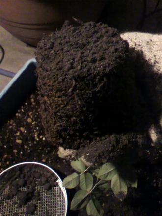 P1001852苗の植え替え