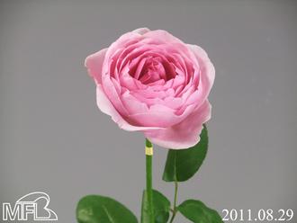 サキカップピンクNo.8