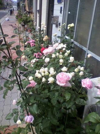 工場前のバラ苗たち