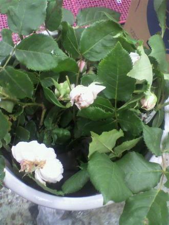 P1006779花枝を頂いた