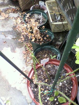 P1003279最近に枯らした鉢