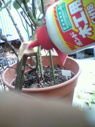 枝枯れ病に木工ボンド