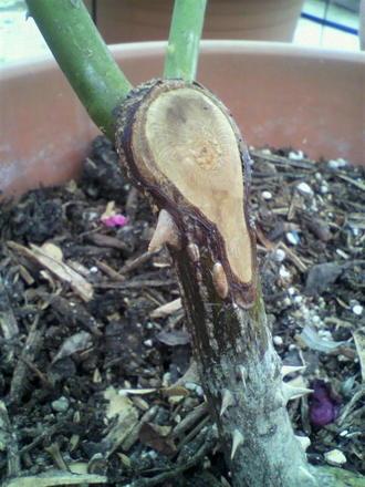 枝枯れ病手当ての成功例