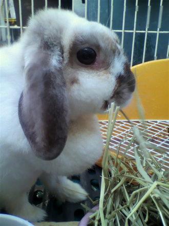ウサギ チョコ♀