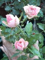 挿し木バラ開花