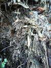 土着菌採集