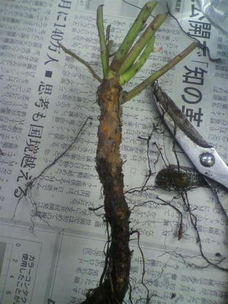 P1009036台木苗のひげ根掃除