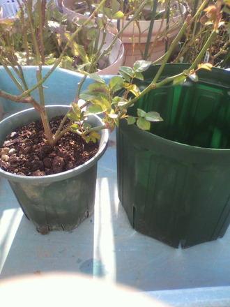 P1007443苗の鉢増し