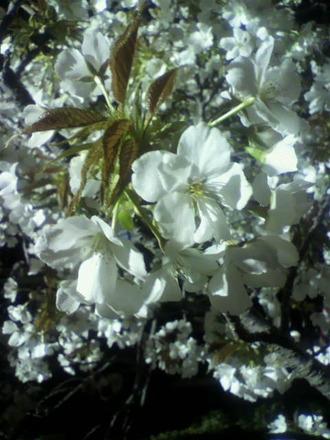 P1009127サクランボの開花4-11