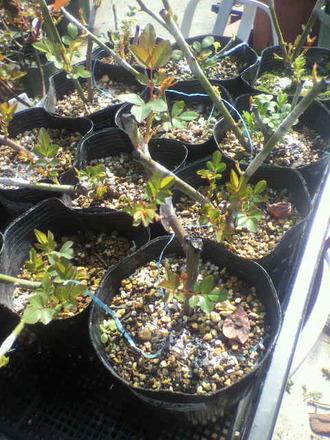 P1007793芽接ぎ苗の仕分け