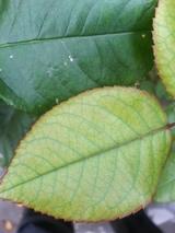 ギィドモーパッサン葉色混在