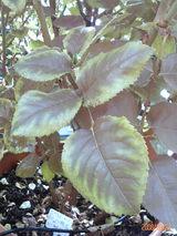 アンブリッジローズの葉