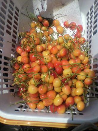 P1008574サクランボの収穫