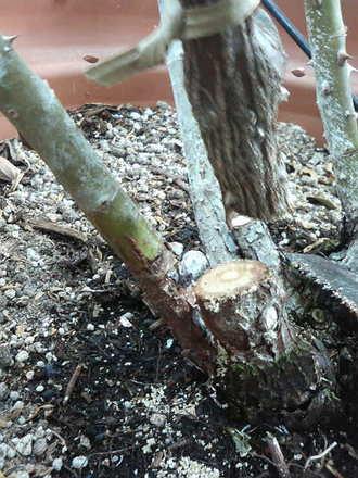 枝枯れ病の手当て1