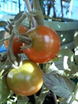 トマトが色付いて