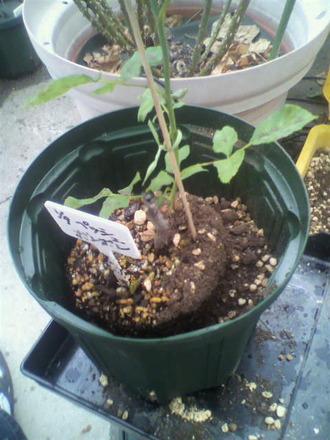 P1009231芽接ぎ苗鉢増し1