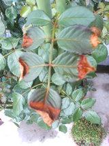 水切れで枯れ上がった葉